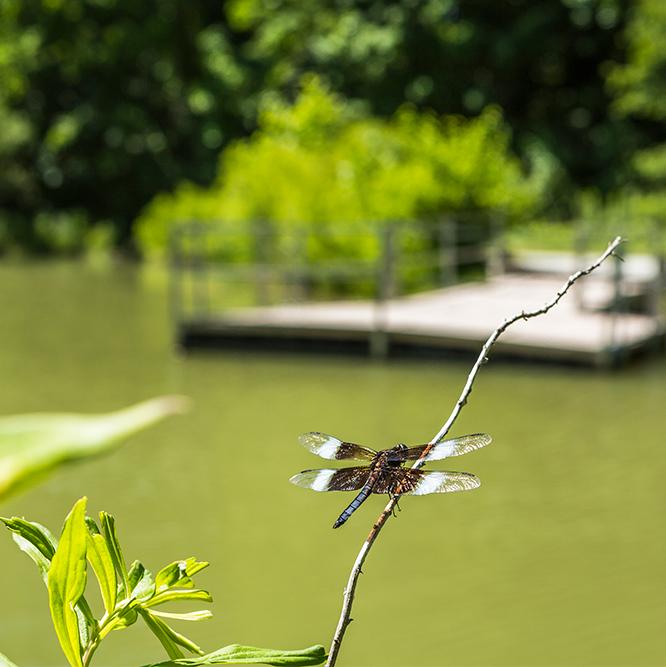 dragonfly at Meadowlark Park