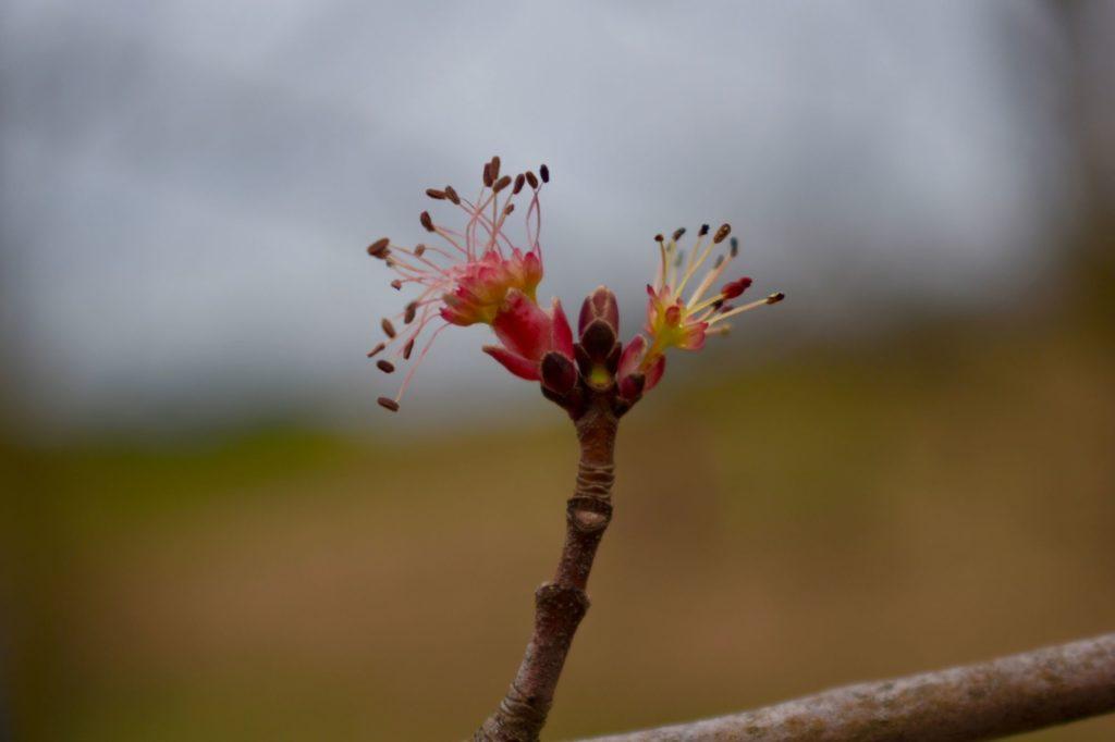 Male Maple Flower